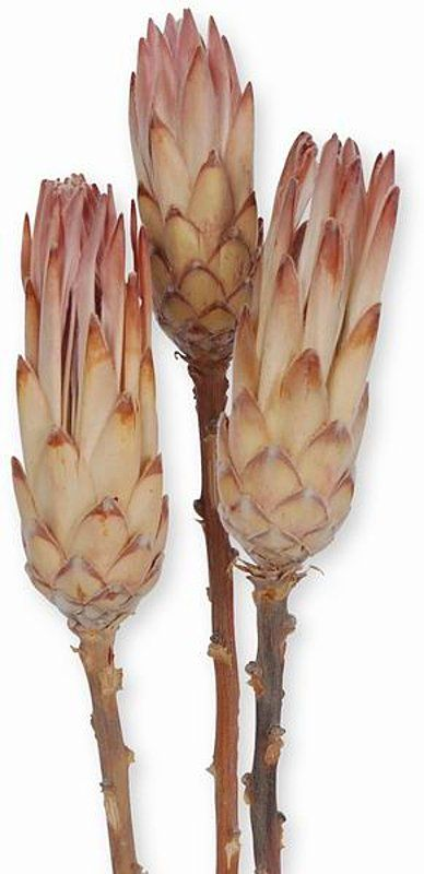 Protea Pink Auslese , natur, 10 Stck