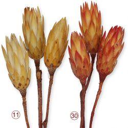 Protea Compacta Extra, 2 Stck