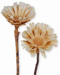 Protea Rosette gebleicht, 5 Stck