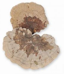 Baumschwämme, natur, 1 kg