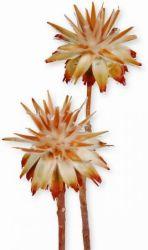 Leucospernum natur, 5 Stck