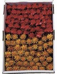 Leucospernum-Mix, rot u. gelb, 100 Stck